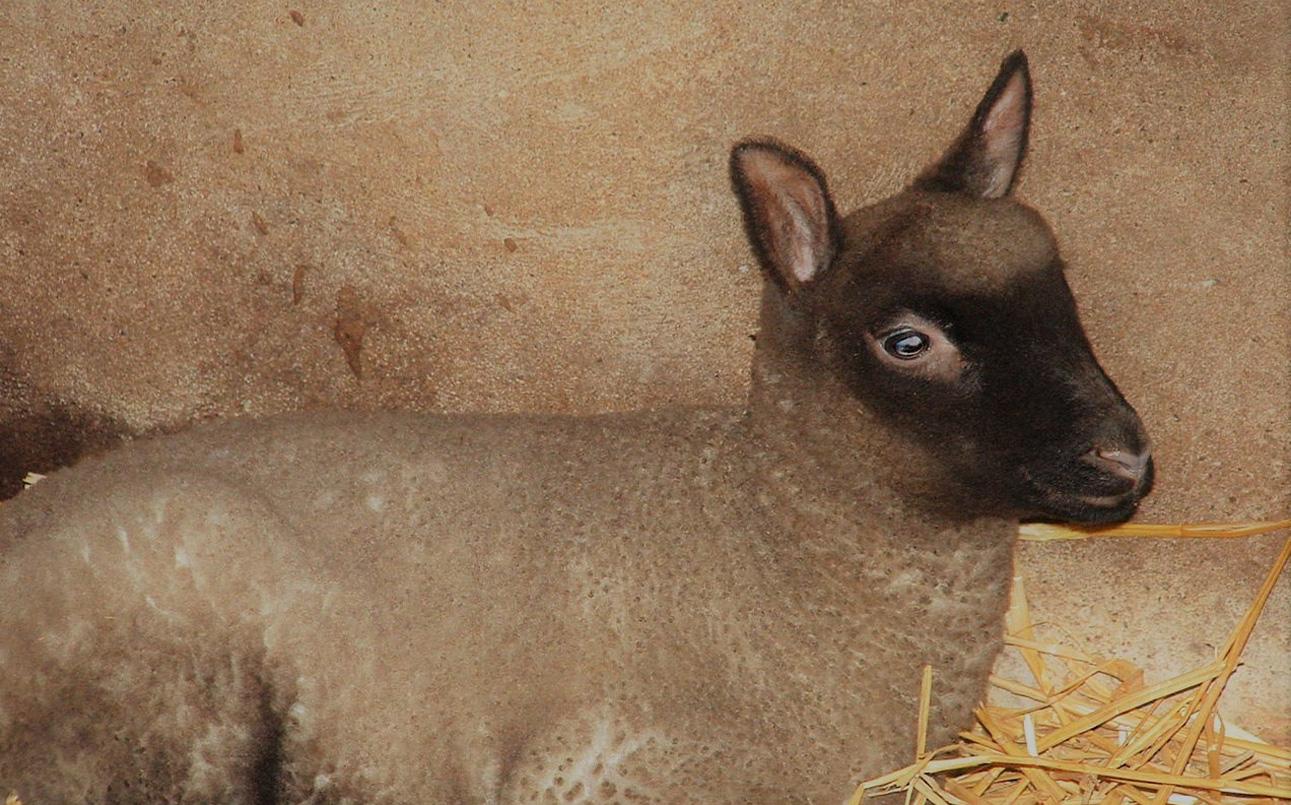 Clun Forest schapen